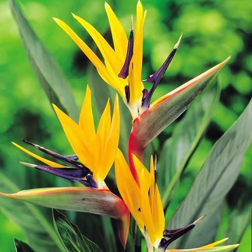 گل استرلیتزیا (پرنده بهشتی) STRELITZIA REGINAE | اصله